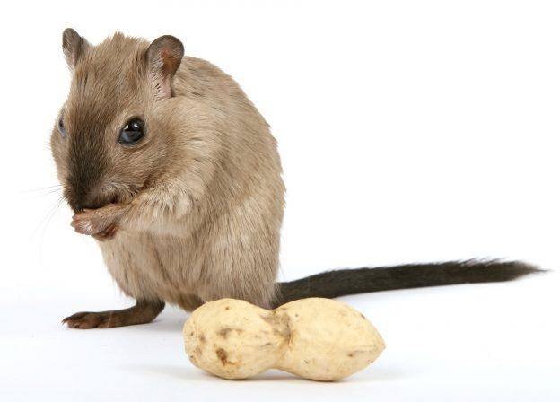 Deratizacija i uništavanje miševa