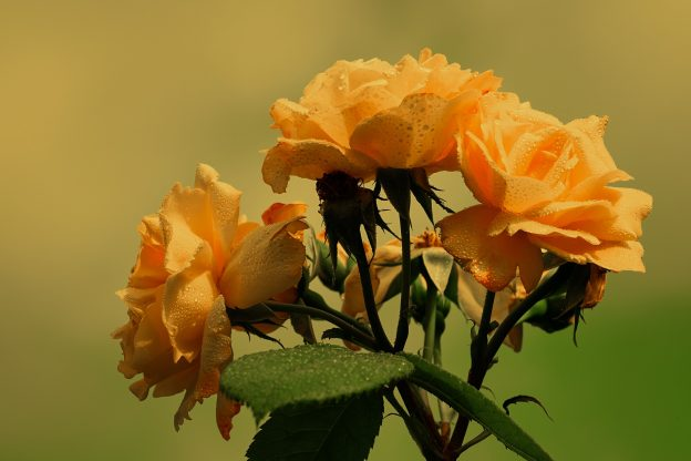 cvece ruze