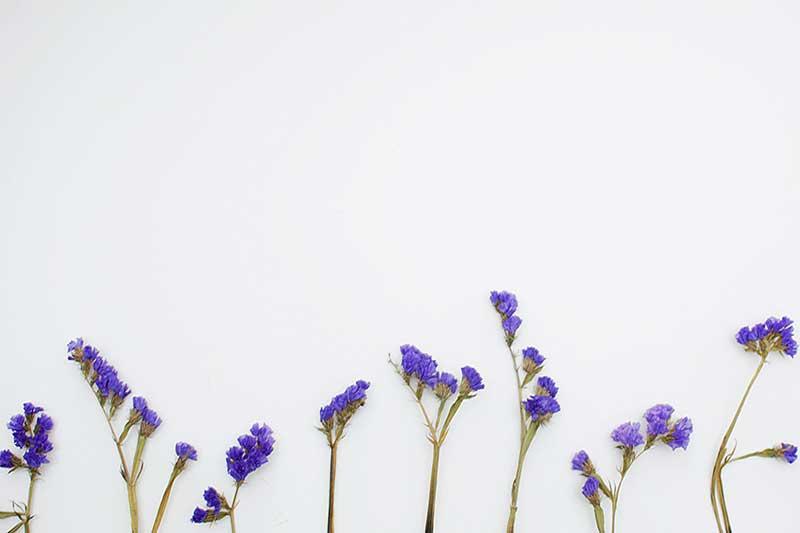 cikorija cvet